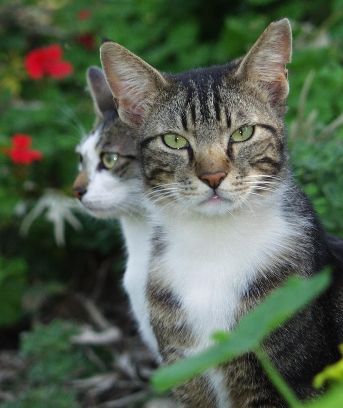 macska ivartalanítás veresegyház